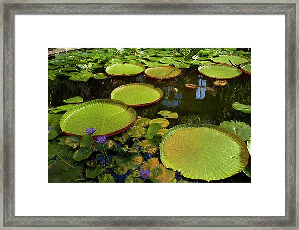 Giant Water Lilies, Wintergardens Framed Print
