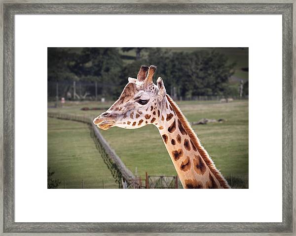 Giraffe 02 Framed Print