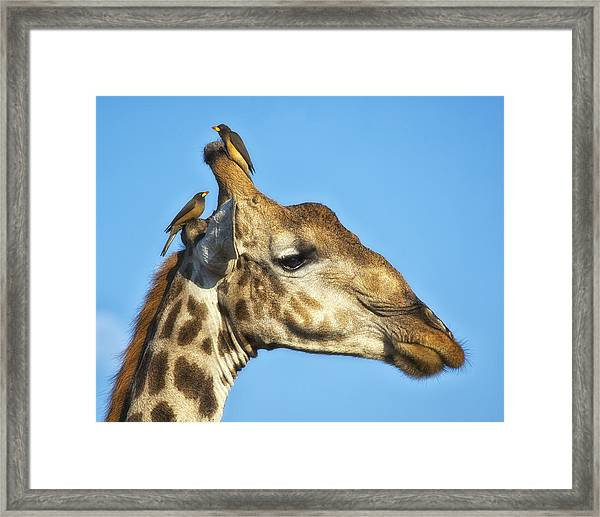 Framed Print featuring the photograph Giraffe And Oxpeckers by Gigi Ebert