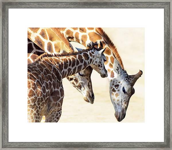 Giraffe Family Framed Print