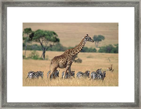 Giraffe Giraffa Camelopardalis Framed Print