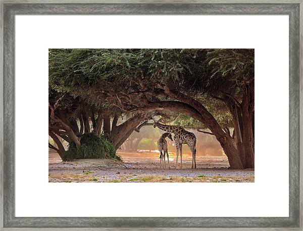 Giraffe - Namibia Framed Print by Giuseppe D\\\'amico