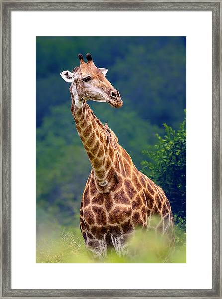 Giraffe Portrait Closeup Framed Print