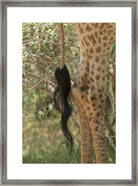 Giraffe Tail Framed Print by Bob Gibbons