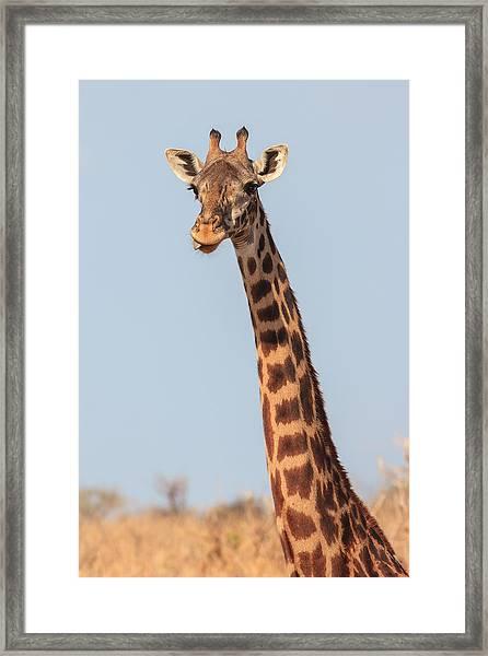 Giraffe Tongue Framed Print
