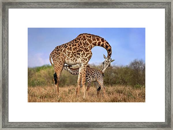 Giraffe With Cup Framed Print