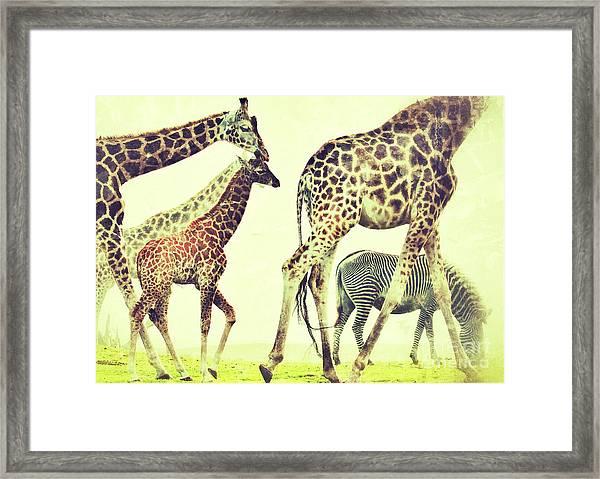 Giraffes And A Zebra In The Mist Framed Print