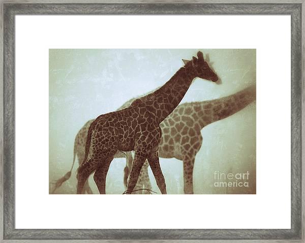 Giraffes In The Mist Framed Print