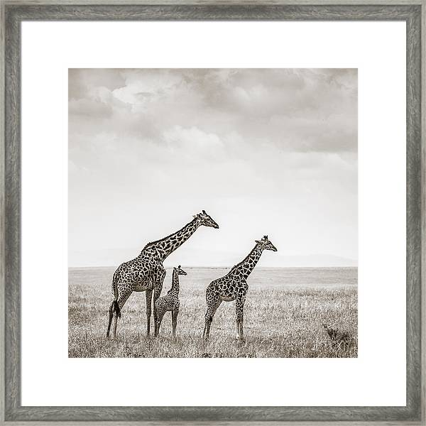 Giraffes Masai Mara Kenya Framed Print