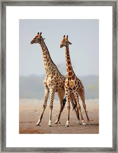 Giraffes Standing Together Framed Print