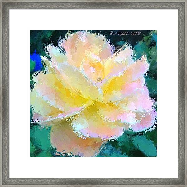 Glazed Pale Pink And Yellow Rose  Framed Print