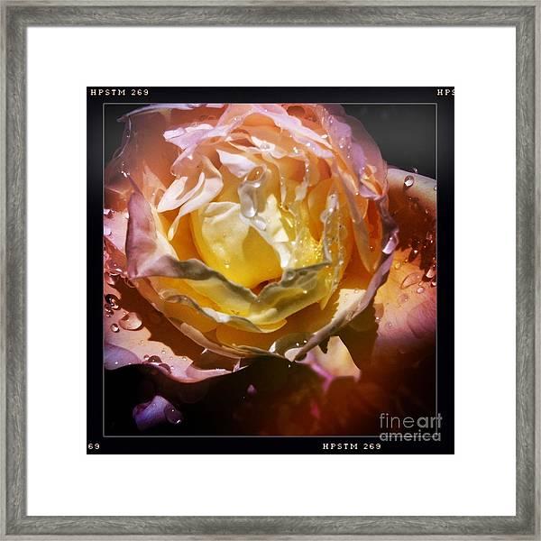 Glistening Rose Framed Print