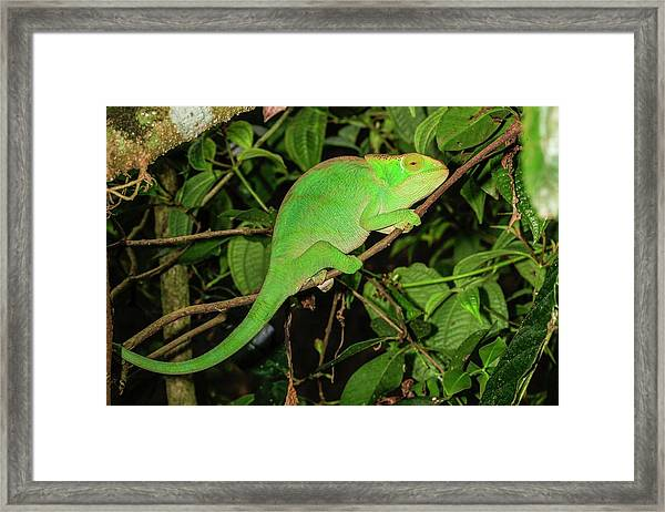 Globe-horned Chameleon Framed Print
