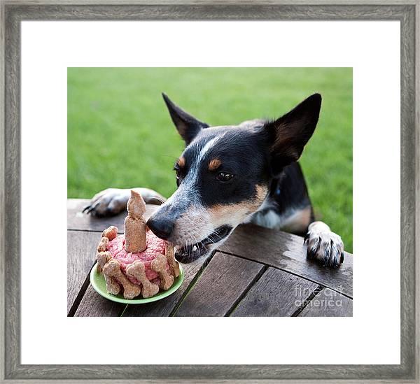Australian Kelpie Dog First Birthday Framed Print