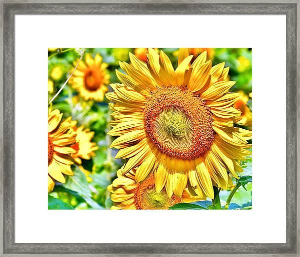 Glorious Sunflowers Framed Print