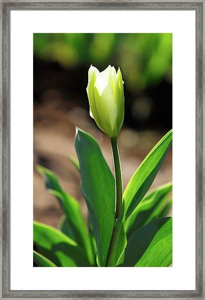 Glowing Tulip Framed Print
