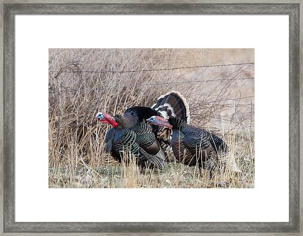 Gobbling Turkeys Framed Print