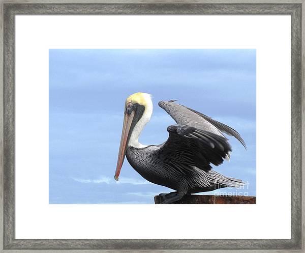 Gold Crown Pelican Framed Print