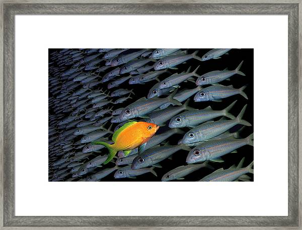 Gold Fish Swimming Opposite Direction To Grey Shoal Framed Print by Steve Bloom