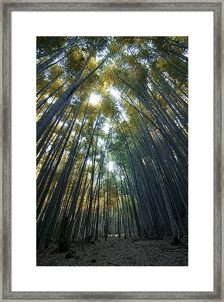 Golden Bamboo Forest Framed Print by Aaron Bedell