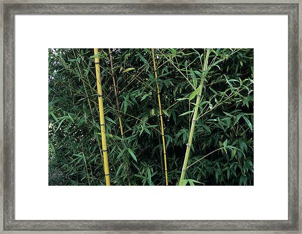 Golden Bamboo (phllostachys Aurea) Framed Print by Sally Mccrae Kuyper/science Photo Library