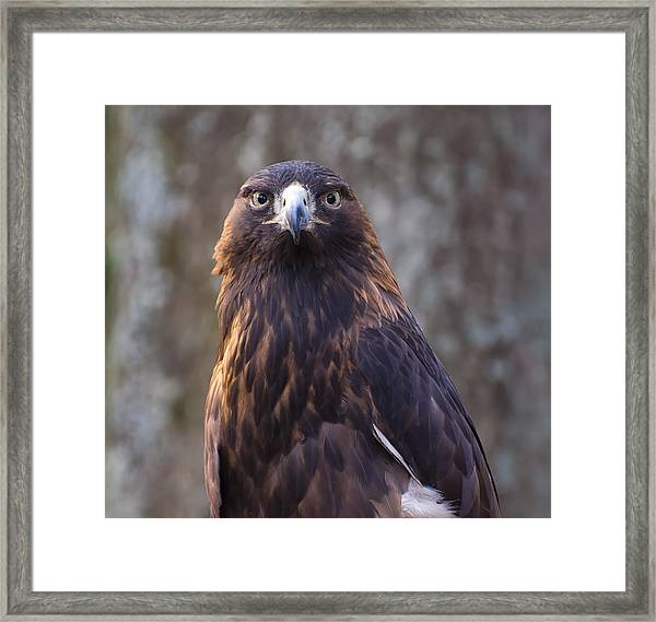 Golden Eagle 4 Framed Print