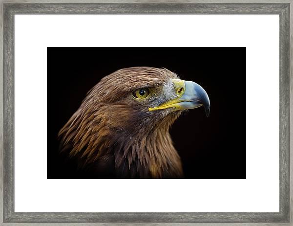 Golden Eagle Framed Print by Peter Orr Photography