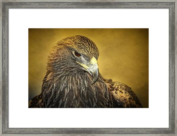 Golden Eagle Portrait Framed Print