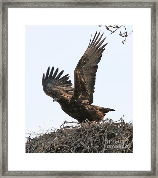 Golden Eagle Takes Off Framed Print