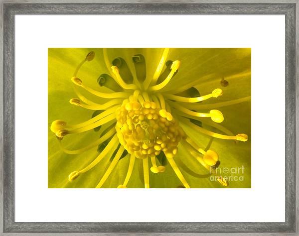 Golden Hellebore Glory Framed Print