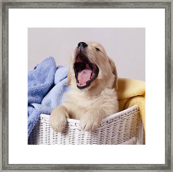 Golden Retriever Puppy Yawning Framed Print