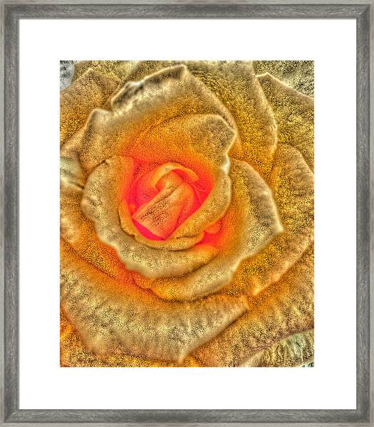 Golden Rose Framed Print