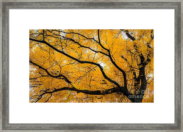 Golden Tree Framed Print