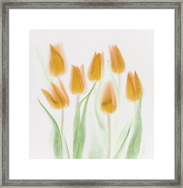 Golden Tulips Framed Print by Brian Haslam