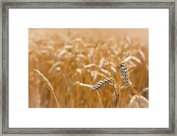 Golden Wheat. Framed Print