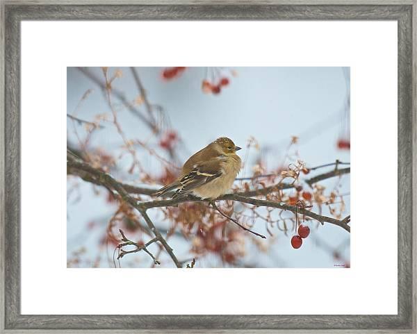 Goldfinch Brrrr Framed Print