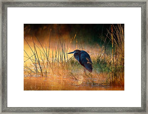 Goliath Heron With Sunrise Over Misty River Framed Print