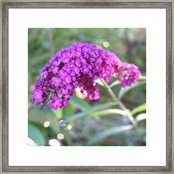 Good Morning Purple Butterfly Bush Framed Print