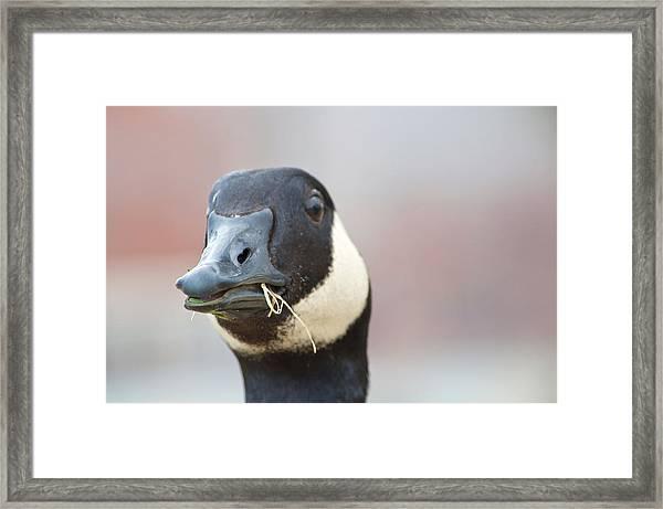 Goose Up-close Framed Print