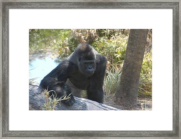 Gorilla 01 Framed Print