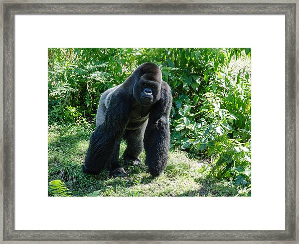Gorilla In The Midst Framed Print