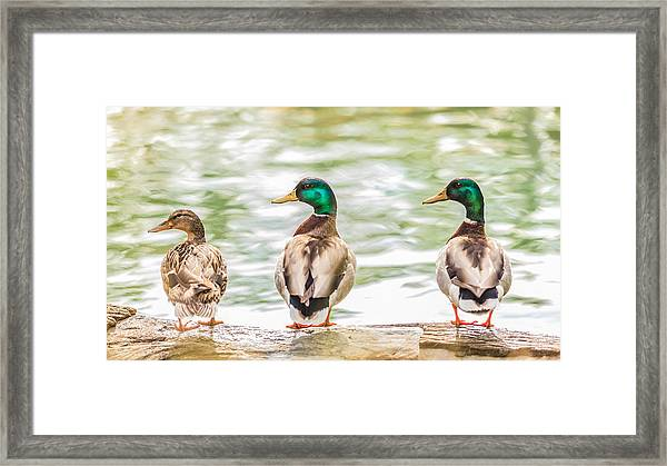 Got My Ducks In A Row Framed Print