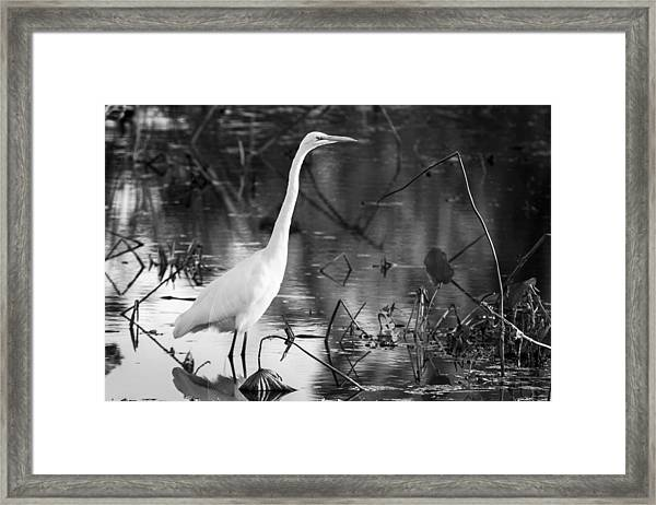 Graceful Great Egret In Black And White Framed Print