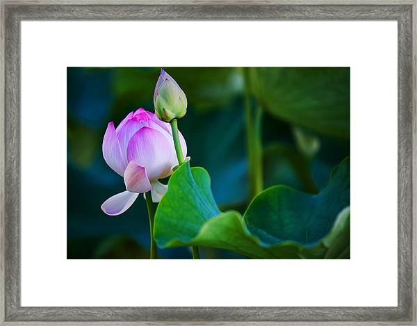 Graceful Lotus. Pamplemousses Botanical Garden. Mauritius Framed Print