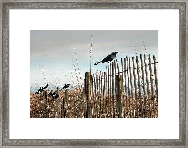 Grackles On A Fence. Framed Print
