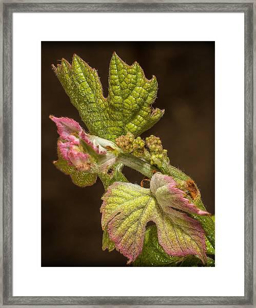 Grape Bud Break Framed Print