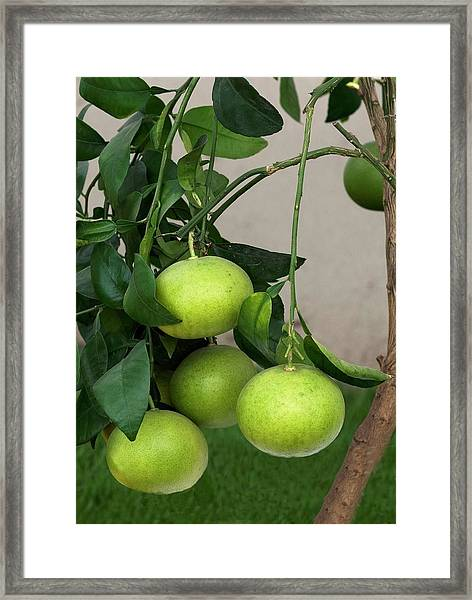 Grapefruit (citrus Paradisi) Framed Print
