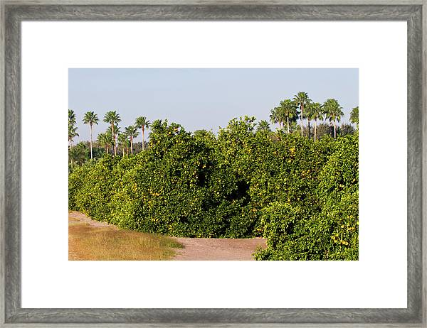 Grapefruit Grove In Mission, Texas Framed Print
