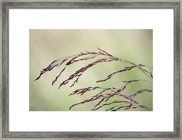 Grass Seed Framed Print