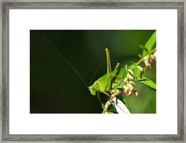 Grasshopper #1 Framed Print